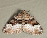 7390 - Toothed Brown Carpet - Xanthorhoe lacustrata