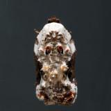 3510 - Snowy-shouldered Acleris - Acleris nivisellana