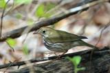 Warblers - genus Seiurus