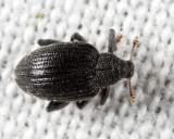 Apple Flea Weevil - Orchestes pallicornis
