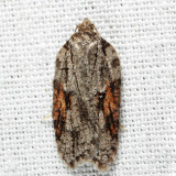 3509 – Acleris ptychogrammos