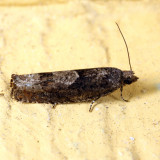 3246 - Shagbark Hickory Leafroller - Pseudexentera cressoniana