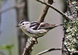 Warblers - genus Mniotilta