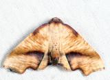 6843 - Fervid Plagodis - Plagodis fervidaria