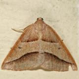 6803 - Common Petrophora - Petrophora divisata