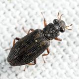 Hydrochus sp.