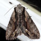 9578 - Common Hyppa - Hyppa xylinoides