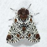 9286 - Harris's Three Spot - Harrisimemna trisignata
