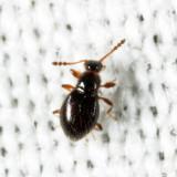 Euconnus (Euconnus) sp.