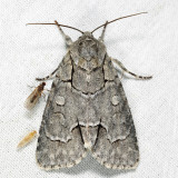 9209 - Radcliffe's Dagger Moth - Acronicta radcliffei