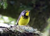 Warblers - genus Cardellina