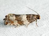 3223 - Gypsonoma fasciolana