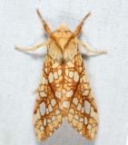 8211 - Hickory Tussock Moth - Lophocampa caryae