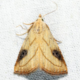 8404 - Spotted Grass Moth - Rivula propinqualis