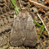 9650 - The Slowpoke - Athetis tarda