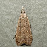 2283 - Spotted Dichomeris - Dichomeris punctidiscella