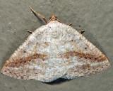 6807 - Pale Alder Moth - Tacparia detersata