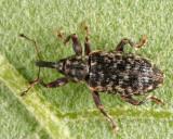 Dorytomus brevicollis