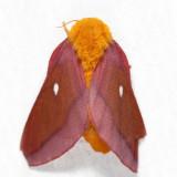 7723 - Northern Pink-striped Oakworm Moth - Anisota virginiensis virginiensis