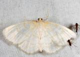 6677 - Yellow-dusted Cream - Cabera erythemaria