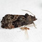3495 - Gymnandrosoma punctidiscanum