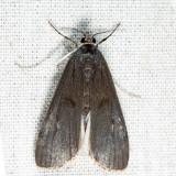 4759 – Polymorphic Pondweed Moth – Parapoynx maculalis