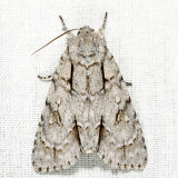 9227 - Pleasant Dagger - Acronicta laetifica