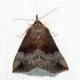 8447 - Gray-edged Hypena - Hypena madefactalis