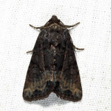 9415.1 - Marbled Minor - Oligia strigilis (melanistic)