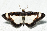 6261 - Common Spring Moth - Heliomata cycladata