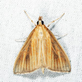 4937 - Streaked Orange Moth - Nascia acutella