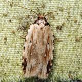 0864 - Agonopterix atrodorsella