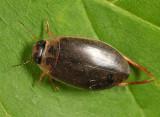 Rhantus sp.