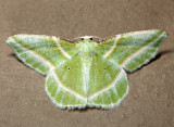 7053 - Showy Emerald - Dichorda iridaria