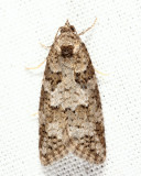 3567.1 - Gray Tortrix - Cnephasia stephensiana