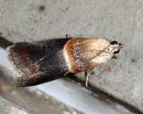 5660 - Acrobasis caryalbella