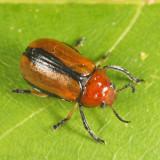 Clay-colored Leaf Beetle - Anomoea laticlavia