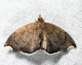 4951 - Titian Peale's Crambid - Perispasta caeculalis