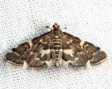 5176 - Yellow-spotted Webworm - Anageshna primordialis