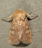 10532 - Northern Scurfy Quaker - Homorthodes furfurata