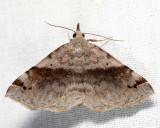8479 - Six-spotted Gray - Spargaloma sexpunctata