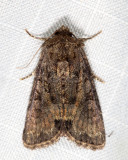 9415.1 - Marbled Minor - Oligia strigilis