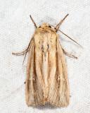 Leucania sp.