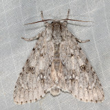 9203 - Fingered Dagger - Acronicta dactylina