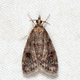 4717 - Dark-brown Scoparia - Scoparia penumbralis