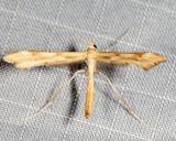 6107 - Yarrow Plume Moth - Gillmeria pallidactyla
