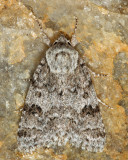 9258 - Hopeful Dagger - Acronicta sperata