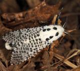 2700 - Wood Leopard Moth - Zeuzera pyrina