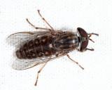 Tabanus pumilus