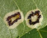 Hickory Sticky Leaf Spot Midge - Gliaspilota glutinosa